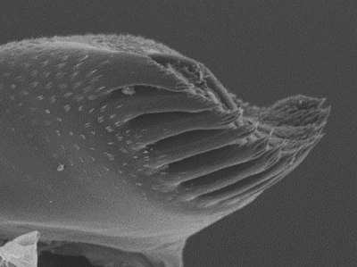 The right mola -process of Desmocaris bislineata