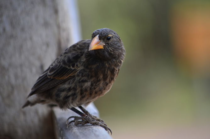 Galapagos finch: evolution in action? Paul Krawczuk/flickr, CC BY-SA