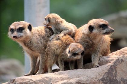 meerkat-658517_1920